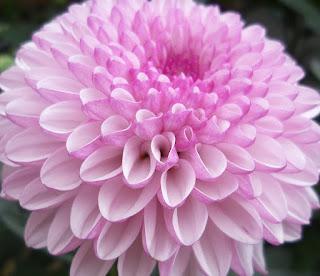tanaman hias bunga pembersih udara Florist's Chrysanthemum