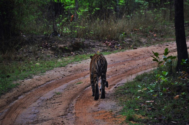 tiger walking on road safari Bandhavgarh National Park and Tiger Reserve