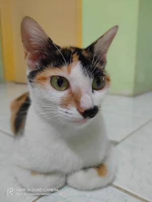 panduan manfaat biaya dan pasca steril kucing betina