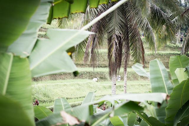 arrozales tegalalang, Bali, Indonesia