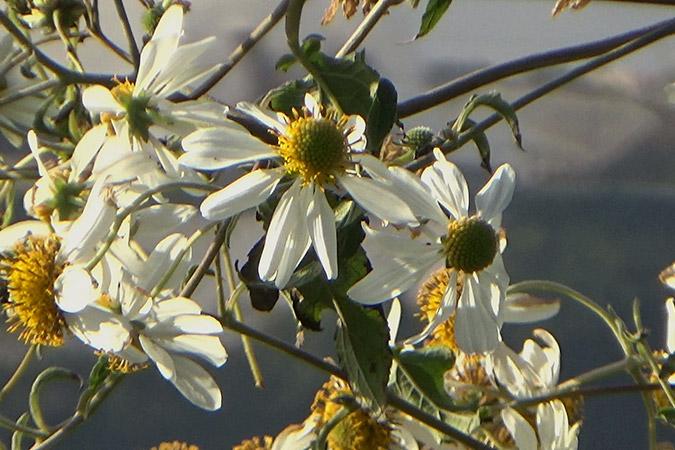 Dlium Brata (Montanoa bipinnatifida)