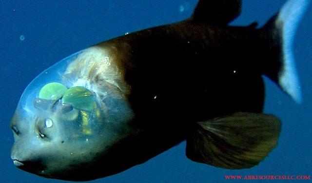 Barreleye Fish Adalah Jenis Ikan Laut Dalam Paling Menyeramkan, Predator Dan Unik
