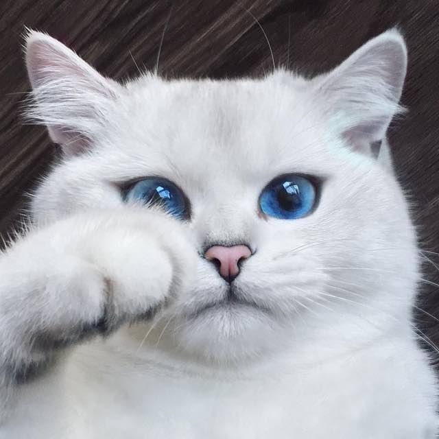 Esse Gato com lindos olhos azuis esta cativando milhares de pessoas na Internet