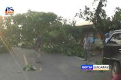 Pohon Tumbang Timpa Pickup, Jalan Daendels Tuban Macet