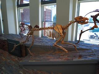 Esqueleto Epicyon haydeni