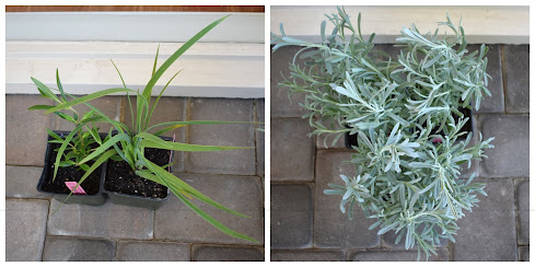 I fleshed out my Annie's order with a Mimulus, Aristea major and 3 'Silver Anouk' lavenders