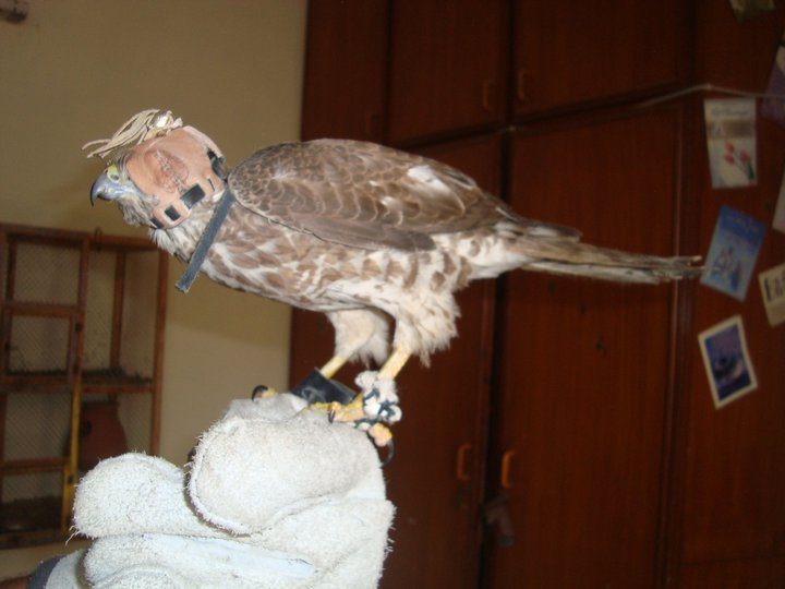 Tamed Shikra for sale