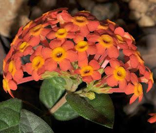 เข็มมาดากัสการ์ (เข็มปานามา) Rondeletia odorata