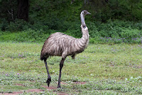 The Emu is the national bird of Australia - photo by Sheba