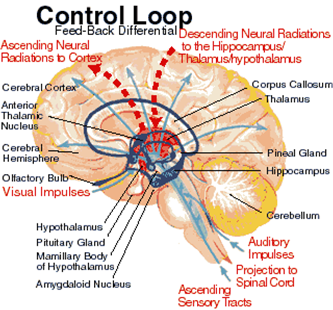 brain thalamus function - photo #4