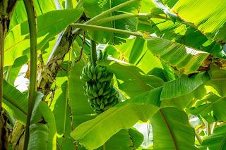 pisang, pohon pisang, serat, berharga, alami