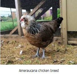 Ameraucana breed of chicken