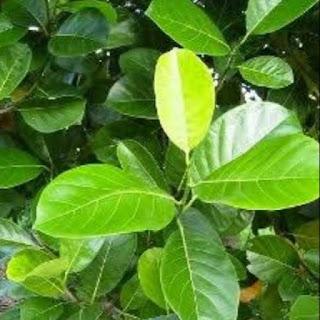 daun nangka