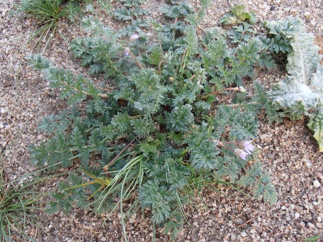 Planta de LOS ALFILERES DE PASTOR (Erodium cicutarium)