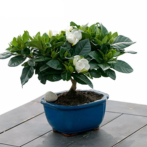 100 Pieces Nema Gardenia Cape Jasmine Seeds
