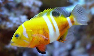 ikan hias mahal Neptune Grouper