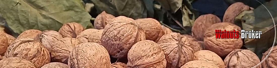 Саженцы скороплодных орехов Украина. Питомник растений Walnuts Broker