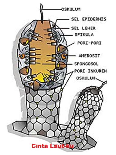 Struktur Tubuh Coelenterata : struktur, tubuh, coelenterata, PORIFERA,, COELENTERATA, CNIDARIA, CINTA