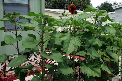 Sunflower Garden at 69 and 55 days on May 26, 2018