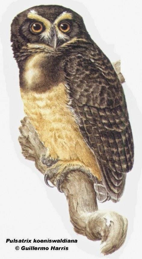 Tawny browed Owl