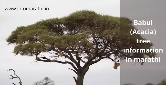 Babul (Acacia) tree information in marathi- बाभूळ झाडाविषयी माहिती