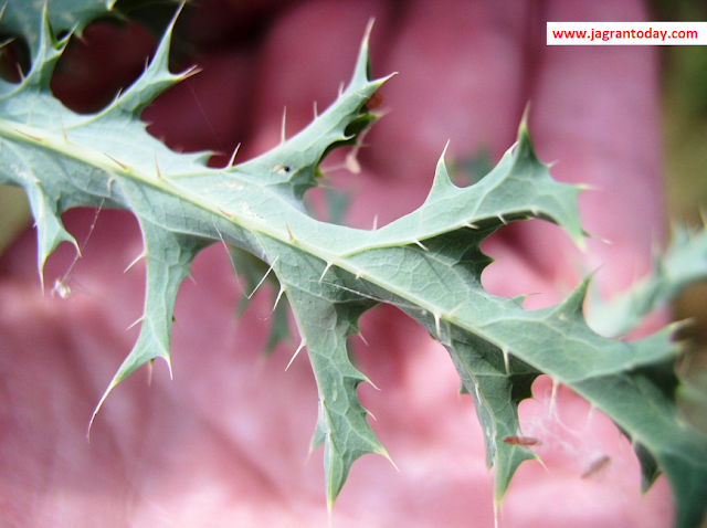 Satyanashi Mexican Prickly Poppy Plant Cures every Wound