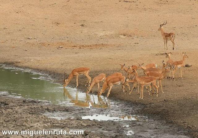 Impalas-Satara-Kruger