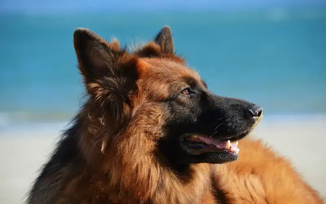 puppy, dog, golden retriever, rottweiler, beagle, border collie, pug, pitbull dog, انواع الكلاب, صور كلاب, كلاب بيتبول, كلاب جيرمن, كلاب هاسكي, كلب, كلاب