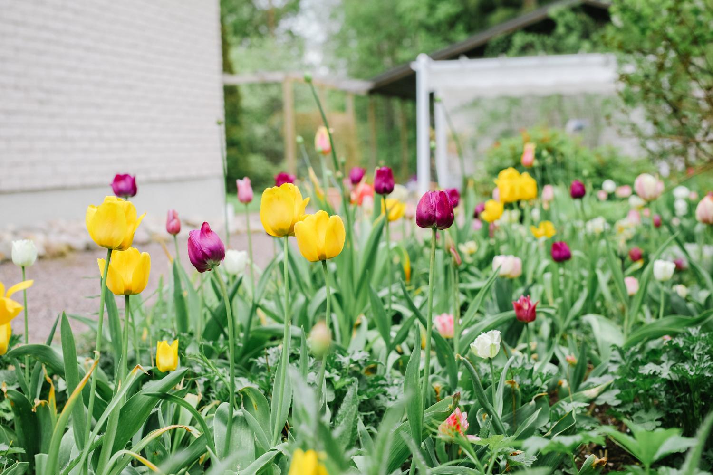 värikäs-tulppaani-istutus-100outdoor