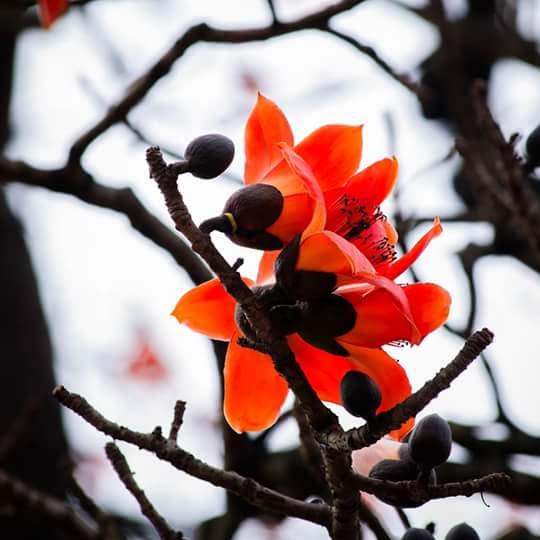 Hoa gạo tháng Ba - Mùa của nhung nhớ nghẹn ngào