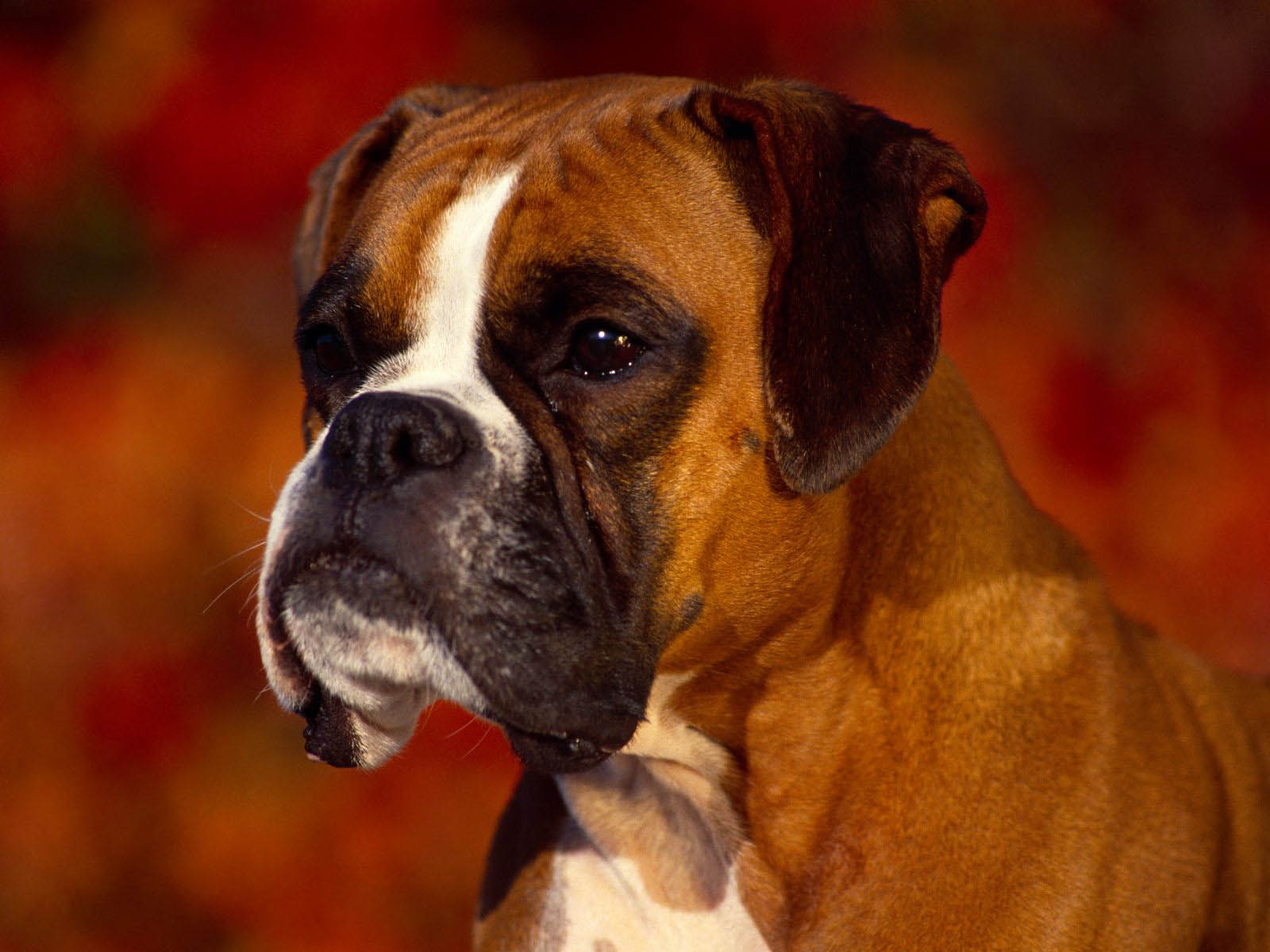 wallpapers: Boxer Dog Wallpapers  |Boxer Puppies Wallpaper