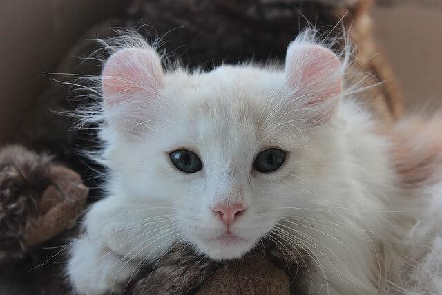Gatto curl americano