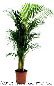 korat le chat zen palmier de madagascar ou areca ou palmier d arec. Black Bedroom Furniture Sets. Home Design Ideas