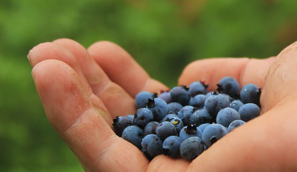 handful of wild blueberries