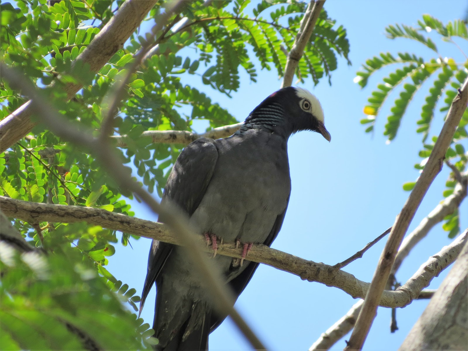 White crowned pigeon - photo#30