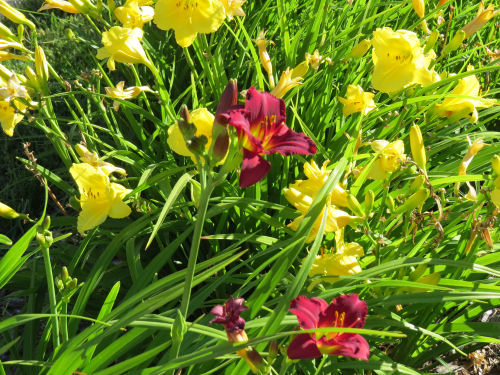 yellow and maroon day lilies