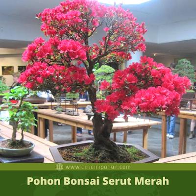 Ciri Ciri Pohon Bonsai Serut Merah