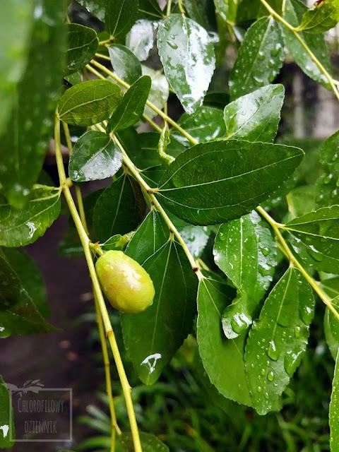 Głożyna pospolita (Ziziphus jujube), inaczej jujube, chiński daktyl, chinese red date. Uprawa w Polsce i Chinach, opis, uprawa, hodowla, owoce, kwiaty, występowanie, pochodzenie, historia, pokrój, podlewanie, uprawa i hodowla w gruncie, z nasion, jak pielęgnować, jaka temperatura, warunki i gleba?