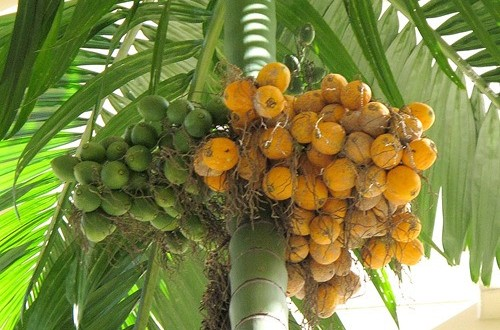 It turns out that it is so extraordinary the benefits behind areca nut