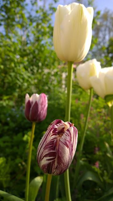 Tulpe Insulinde (c) by Joachim Wenk