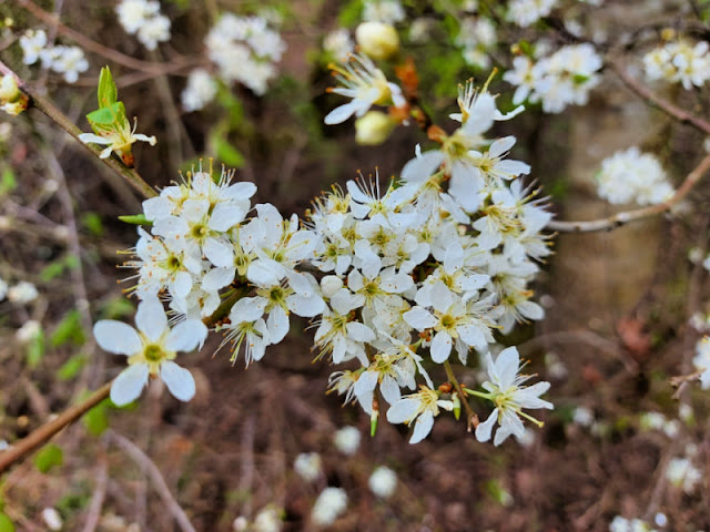 A cluster of white blackthorn flowers