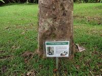 Para rubber tree information - Ho'omaluhia Botanical Garden, Kaneohe, HI