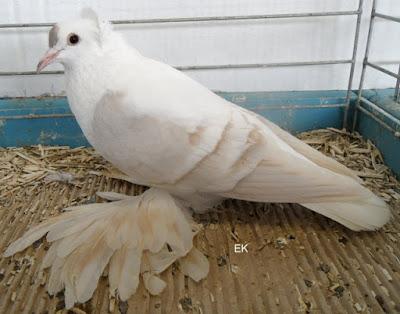 Pigeon de Saxe à ailes colorées