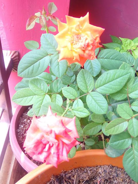Bunga Rose Oranye Cantik