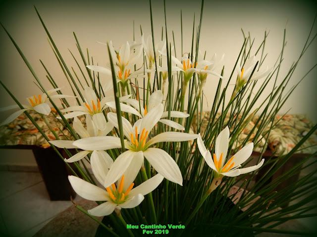 LÍRIO-DA-CHUVA, ZEFIRANTES Flor branca