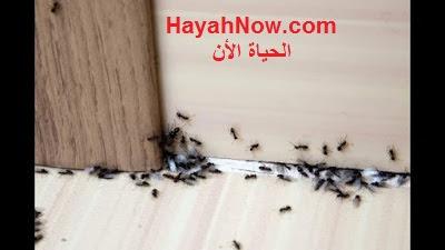 النمل و كيفية القضاء عليه من منزلك بطرق طبيعية و امنه