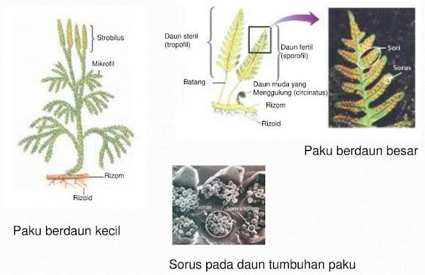 Tumbuhan Paku : Identifikasi, Klasifikasi Hingga Manfaatnya