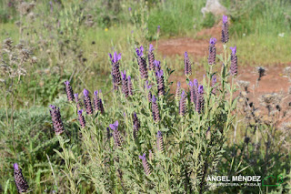 Lavandula stoechas, jardinería mediterránea, jardines pequeños