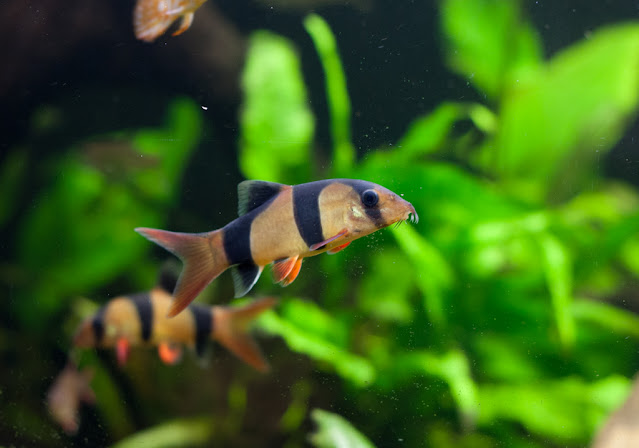 Clown Loaches with Tank Mates