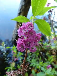 Kalmia à feuilles étroites - Kalmia angustifolia